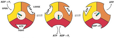 3 conformations of beta units in atp synthase